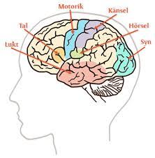 hjärnan fördelningar
